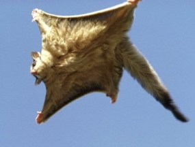 Flying squirrels glide from a high position to a lower position. (WILDLIFE)