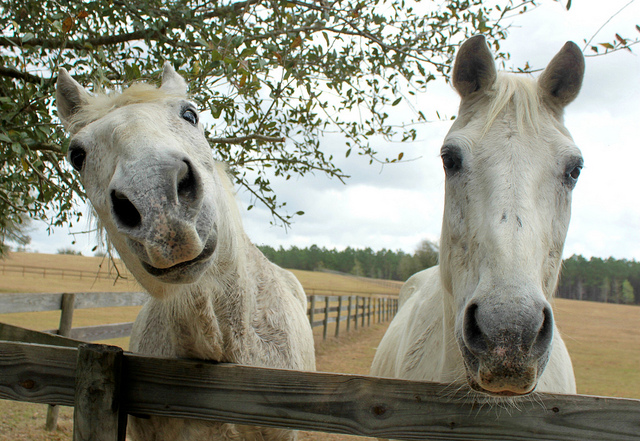 Horses once destined for slaughter are now living out their lives roaming the 325-acre Mill Creek Farm, a retirement home in Alachua, FL for old, abused and abandoned horses./Photo credit: flickr.com