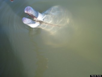 New Species Of River Dolphin