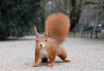 Red squirrels are one type of squirrels. (WILDLIFE(