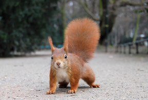 Red squirrels are one type of squirrels. (WILDLIFE)