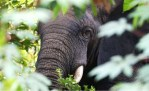 elephants, africa, african elephants, forests, wildlife, african wildlife
