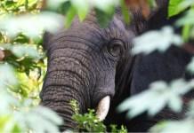 elephants, africa, african elephants, forests, wildlife, african wildlife