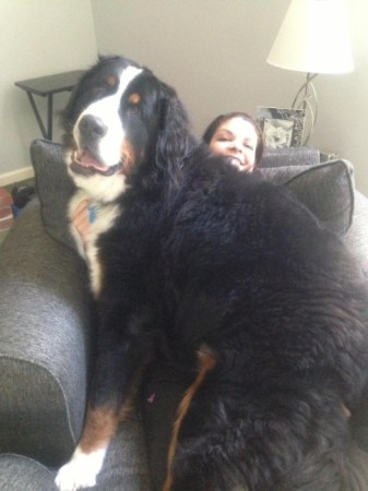 Bernese Mountain Dogs, Dogs, Dog Breeds, Large Dog Breeds, Biggest Dogs Ever