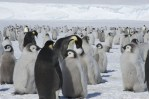 emperor penguins, penguins, antarctica, science, penguin colonies