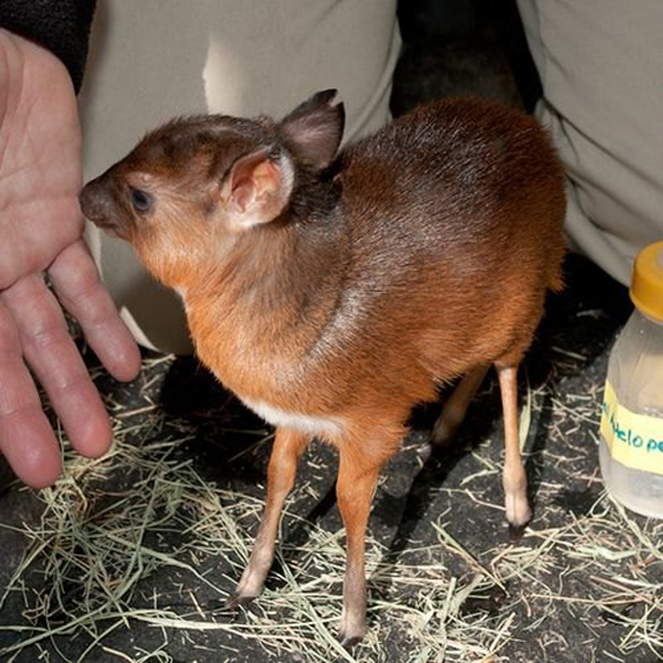 mini animals, tiny animals, baby animals, rare animals, exotic animals, antelopes, pictures of animals