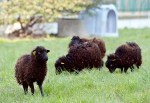 mini animals, tiny animals, baby animals, rare animals, exotic animals, sheep, pictures of animals