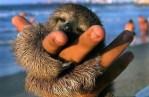 Dwarf Sloth