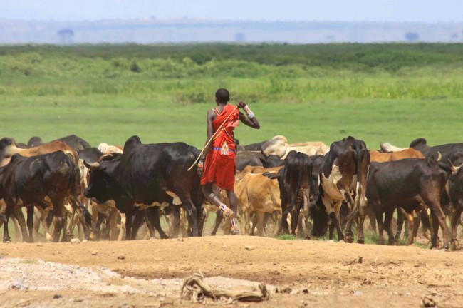 pictures of animals, africa, cattle, kenya, maasai, amboseli national park