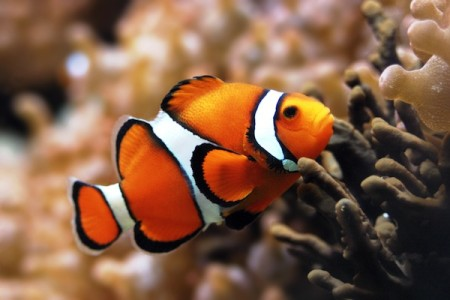 8835100 clown fish background 450x300 25 Most Bizarre & Fascinating Animal Facts
