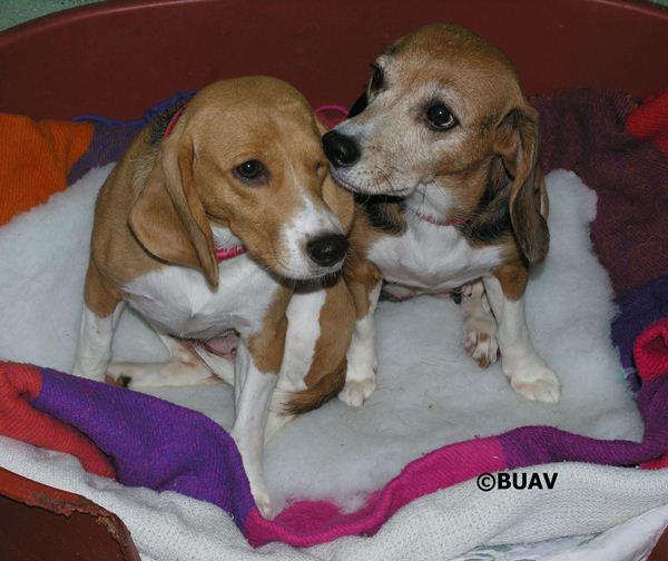 Beagles, animal testing, dogs, BUAV, puppies