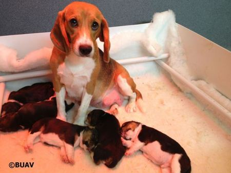 Beagles, animal testing, dogs, BUAV, puppies
