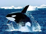 Orca jumps in ocean, killer whale swimming in the wild