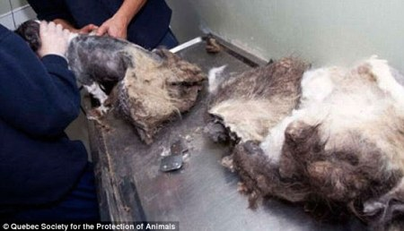 Don't need that coat anymore: Fur comes off like one giant matted mess. Photo Credit: dailymail.co.uk