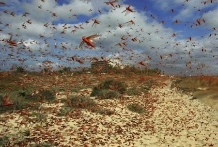 intentblog locust swarm 450x303 25 Most Bizarre & Fascinating Animal Facts
