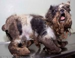 The matted dog is terrified of groomers