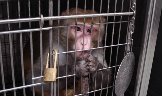 Monkeys and other primates are shipped from across the world to endure experimentation, including the injection of harmful chemicals. Photo Credit: PETA