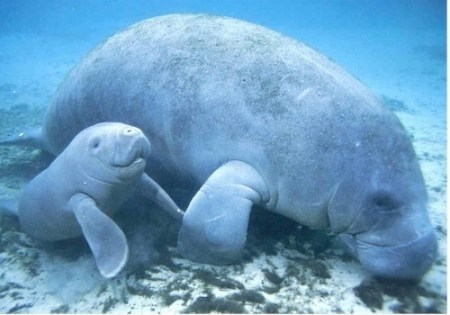 Manatees aren't sexually mature and can't start having children until ages 4-7. Photo Credit: Buzzfeed