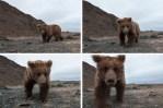Gobi bear approaches hidden camera