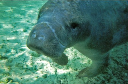Manatees breathe through their nose. Photo Credit: Buzzfeed