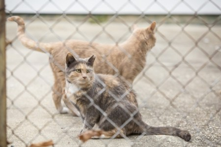 Feral cats—commonly referred to as community cats—are the same species as pet cats, but are not socialized to people, and therefore are not candidates for adoption. Photo Credit: Alley Cat Allies