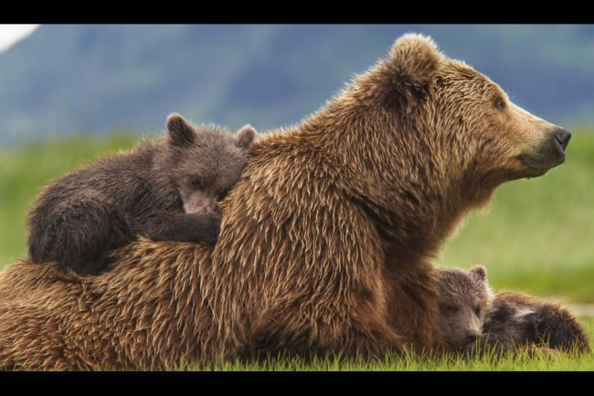 Disneynature Bears is narrated by John C. Reilly and includes a song by Disney's Olivia Holt.