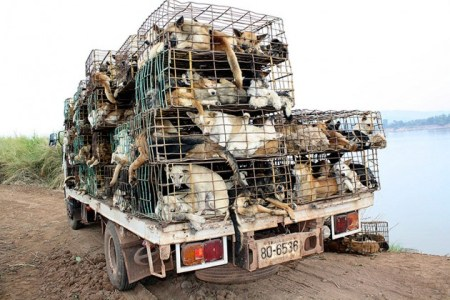 Hundreds of smuggled dogs inside cages on a truck seized near the Thai-Laos border province of Nakhon Phanom, Thailand. Manufacturers in Southeast Asia are gruesomely using dog skin to make golf gloves./Photo credit: STR/Corbis