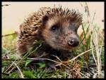 Hedgehogs, cute animals, hedgehog facts