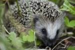 Hedgehog, garden, cute animals, cute animal pictures