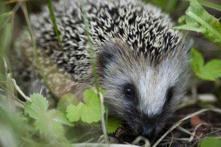 Hedgehog, garden, cute animals, cute animal pictures