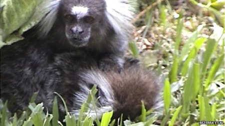 Male marmoset comforts his dying partner. Photo Credit: BBC Nature
