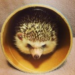 Hedgehog looking adorable while plaing