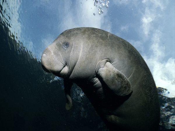 Manatee, Conservation, Wildlife, Oceans
