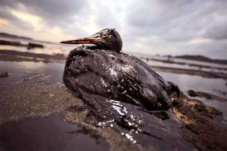gulf oil spill, oil spills, birds, pelicans, animal welfare, environmentalism, animal rights