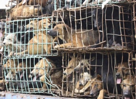 Dogs are cruelly stuffed in cages by smugglers and illegally transported to Vietnam or China where there's a strong demand for dog parts./Photo credit: nydailynews.com