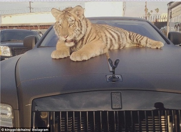 Wildlife, wild animals, Tyga, Rapper, Hip Hop, tigers