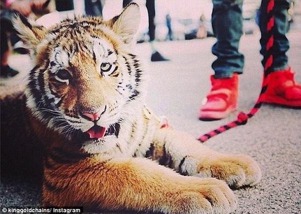 Wildlife, wild animals, Tyga, Rapper, Hip Hop, tigers