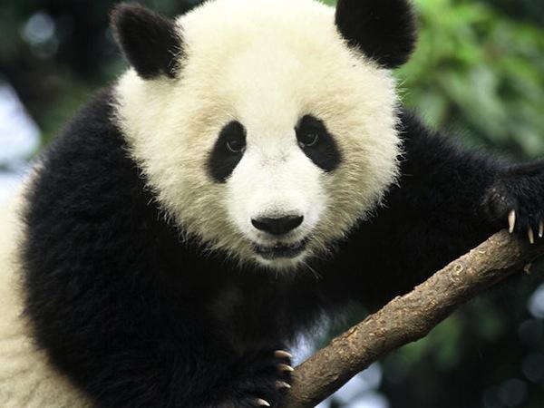 Panda, Baby Pandas, Panda Cubs, Panda Facts, Animal Facts, Cute Animal Pictures, Bamboo