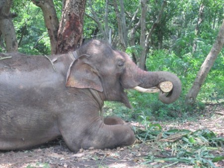 Sunder enjoys his newfound freedom at the elephant sanctuary. Photo credit: PETA