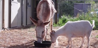 depressed goat sees best friend, donkey and goat animal friends reunited