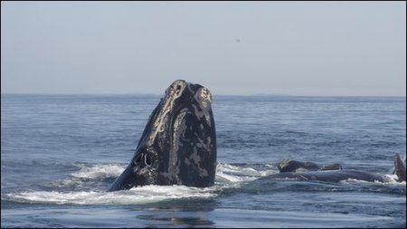 Efforts to protect the right whale population began in 2009. Photo credit: BBC News