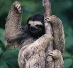Sloth Showing Claws In Tree