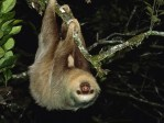 Sloths, fun facts, animal facts, cute pictures, sloth pictures