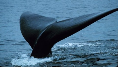 "Only a tiny portion of right whale breeding grounds are considered ""critical habitat."" Photo credit: Ocean Portal"