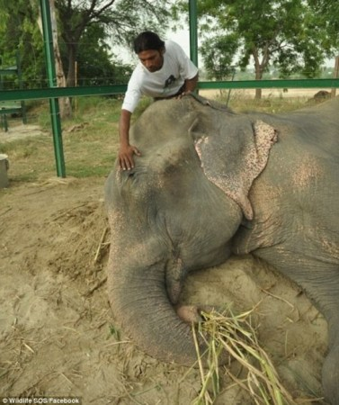 Taking a nap: 'More then anything, now its time for Raju to just rest after 50 years, he deserves it,' a photo posted on Wildlife SOS's Facebook page says. In this photo Raju's keeper gently helps him to take a nap./Photo credit: Wildlife SOS, Facebook