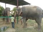Raju the elephant with Phoolkali