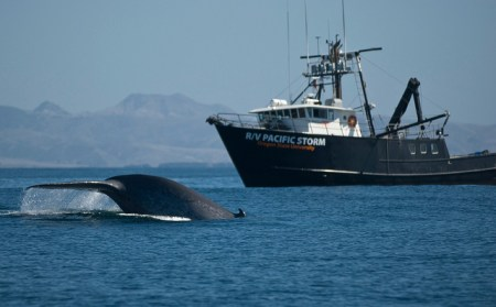 Blue-whales are sometimes struck and killed by commercial ships. Photo credit: PHYS.org