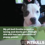 Pit Bull Posing For Pictures