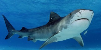 Worldwide, there are only about 60 shark attacks on people each year. Photo credit: Pakistantoday.com
