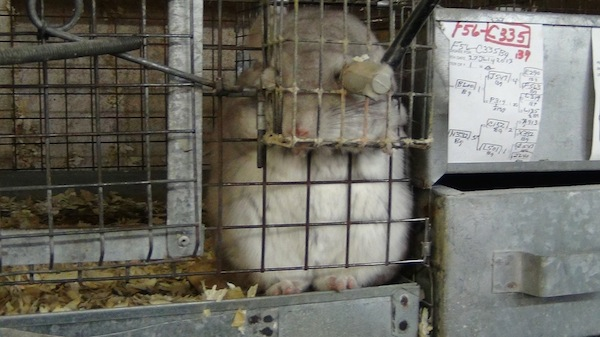 Factory Farming, PETA, Chinchillas, Animal Cruelty
